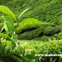yeşil çay hapının faydaları, yeşil çay hapı, yeşil çay hapı ile kilo verme
