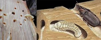 tahta kurusu ilaçlama, tahta kurusu nasıl ilaçlanır, tahta kurusu ilaçlama işlemi